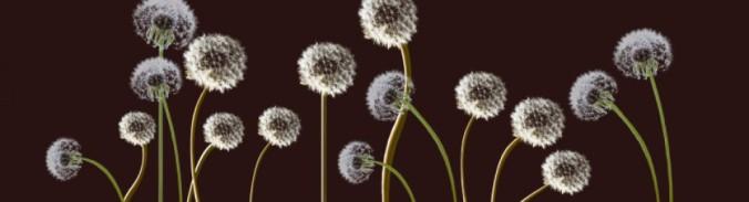 cropped-dandelions1.jpg