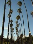 180px-Santa_Monica_Palm_Trees