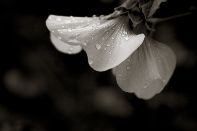 after-rain-flower-water